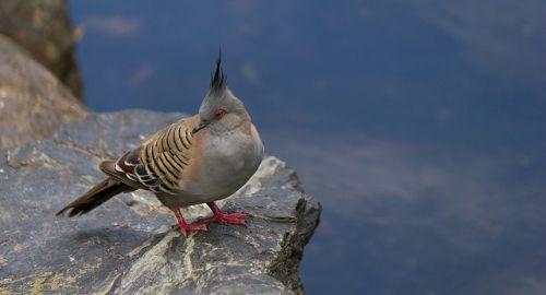8387-pigeon