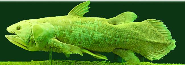 8464-coelacanth