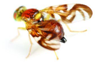 8464-fruitfly