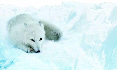 8503-arctic-fox