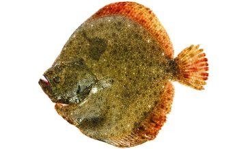 8503-flatfish