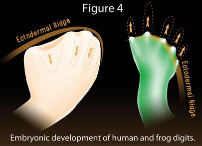 EmbryonicDevelopment