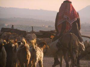 8870-shepherd
