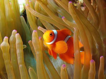 9322-clownfish