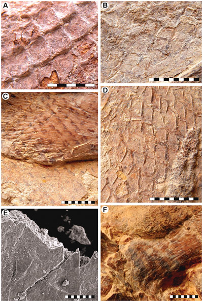 kožních šupin mosasaura