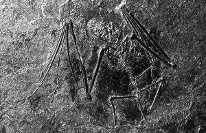 9357-bat-fossil