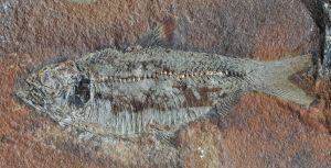 9392-fish-fossil