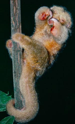 silky-anteater