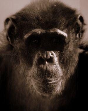 9447-chimp