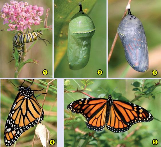 Monarkkiperhosen vaiheet
