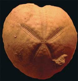 9502-fossil-sea-urchin