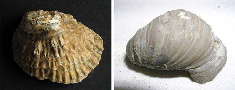 Ostrea-Gryphaea