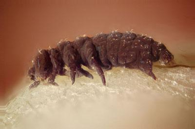 tardigrade