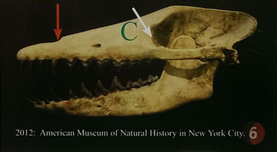 Pakicetus-AMNH-2012