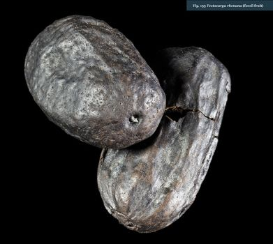 9580-fossil-fruit