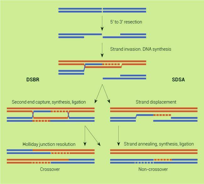 Meiotic Recombination in Meiotic Recombination a