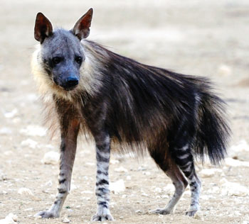 brown-hyena