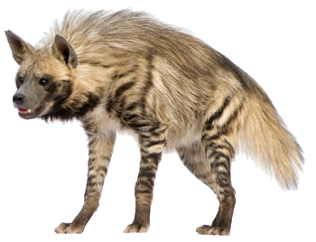 striped-hyena