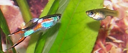 9680Poecilia-reticulata