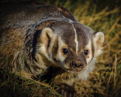 American-badger