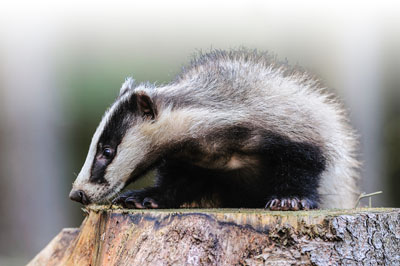black-badger