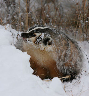 brown-badger