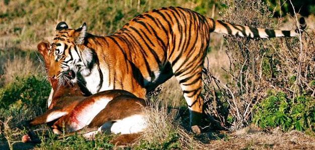 tiger-blesbuck