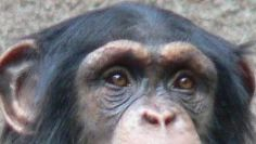 Chimpanzee eyes