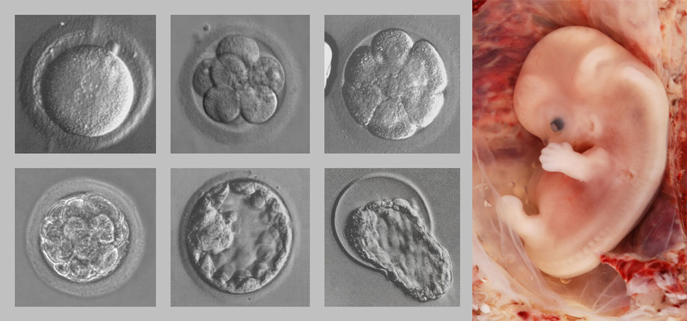 an analysis of the embryonic development process Sive role in embryo development by holding the embryo proper in a fixed position   analysis of reproductive development in angiosperms must therefore include a   uptake process to the metabolic inhibitor dinitrophenol was consistent with.