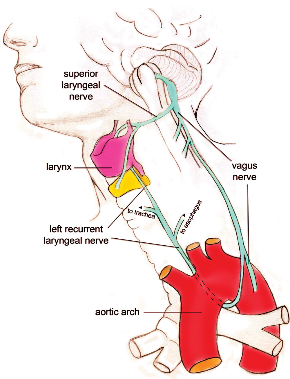 Recurrent laryngeal nerve design - creation.com