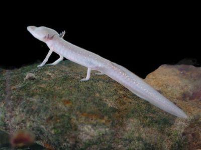 Texas-blind-salamander