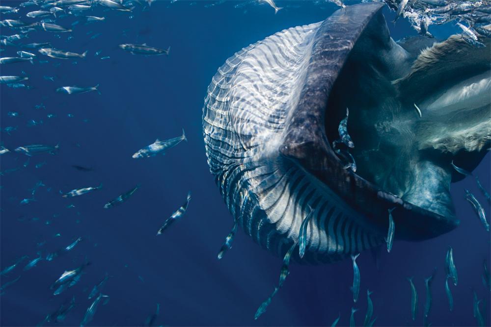 Baleen whales sensory-organ - creation.com