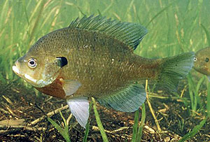 9820-bluegill-fish