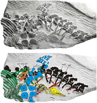 ichthyosaur-embryos