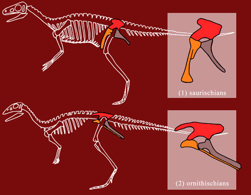 dinosaur-hip-bones