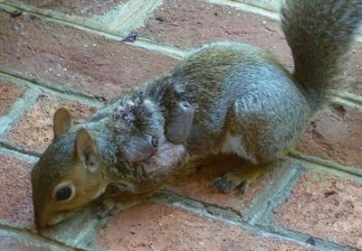 squirrel-warbles