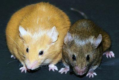 Agouti-mice