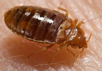 bed-bug-nymph