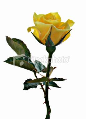 flower-single-yellow-rose