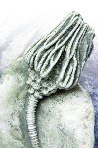 sea-lily