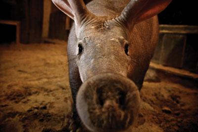 aardvark-closeup