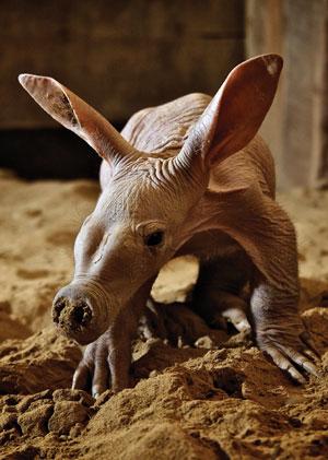 aardvark-digging
