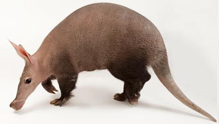 aardvark-side