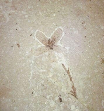fossil-flower
