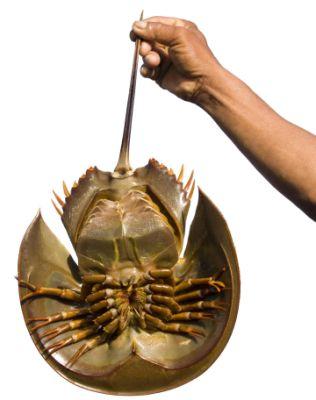 horse-shoe-crab