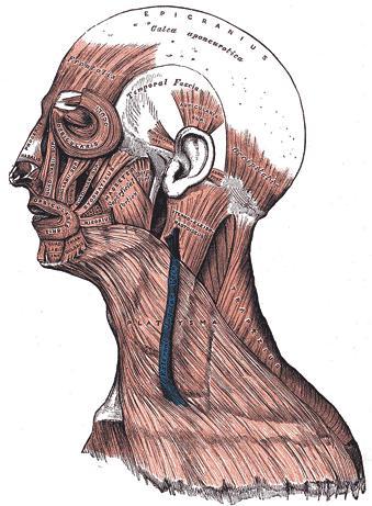 Human_facial_muscles