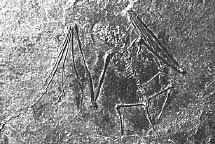 10207bat-fossil