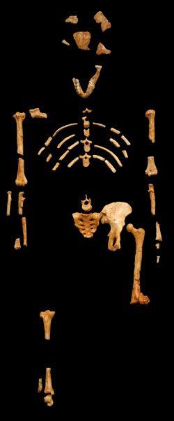 10208-Dal353237_d367kazy__382e_Australopithecus_je_jen_vym345el253_lidoop