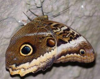 owl-butterfly-2