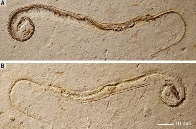 snake-fossil